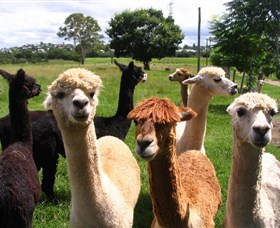 Banyandah Alpacas - Accommodation Directory